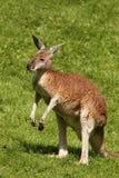 Kangur z mokrym futerkiem Zdjęcia Stock