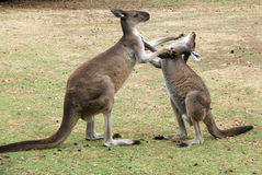 kangur zwierzęcych zdjęcie royalty free