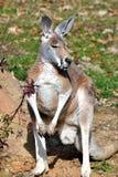 kangur zwierzęcych Obraz Royalty Free