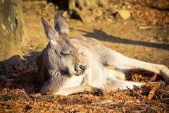 Kangura dosypianie w słońcu w Sydney, Australia Zdjęcia Stock