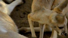 kangura joey zbiory wideo