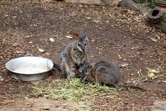 Kangura karmienie Obraz Stock