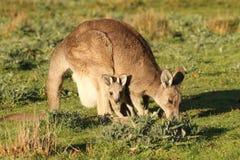 Kangura macierzysty pasanie Obrazy Royalty Free