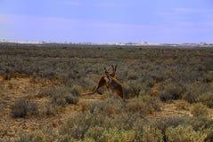 kangura odludzie Obraz Stock