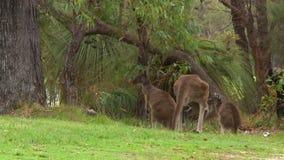 Kangura odprowadzenie W kierunku Dwa Joeys zbiory wideo