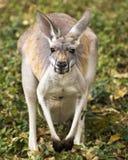 Kangura portret Zdjęcia Stock