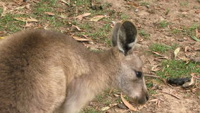 Kangura zamknięty up chrobot zbiory