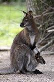 kangury Obraz Stock