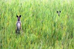 Kangury na światła słonecznego wybrzeżu Obrazy Royalty Free