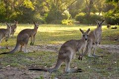 Kangury patrzeje kamerę Obrazy Royalty Free