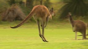 Kangury podskakuje zdala od piłki golfowej zbiory wideo