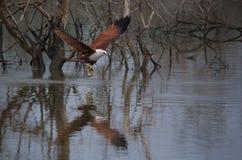 Kania łapiąca ryba od rzeki Obraz Stock