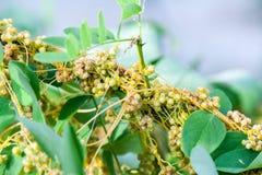 Kanianki Genus Cuscuta jest pasożytniczymi roślinami Fotografia Stock