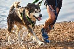 Kanikross - laufend mit einem Hund Stockbild