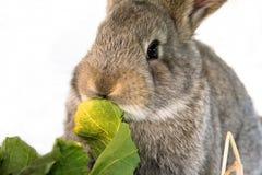 Kanin äter sallad Arkivbilder