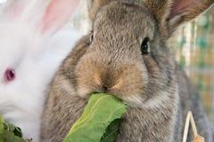 Kanin äter sallad Arkivfoto