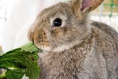 Kanin äter sallad Arkivbild