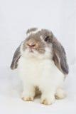 kanin Royaltyfria Bilder