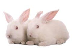 kanin Fotografering för Bildbyråer