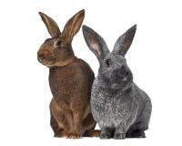 Kanin för belgisk hare och Argente Royaltyfri Bild