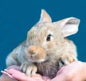 Kanin förestående Arkivfoto