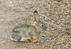 kanin för bomullssvanskanin 6 Arkivbild
