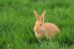 Kanin i gräs Arkivbilder