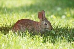 Kanin i gräset Arkivbilder