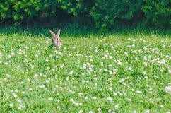 Kanin i gräset Arkivfoto