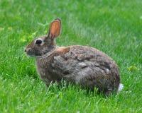 Kanin i gräset Arkivfoton