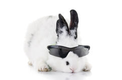 Kanin i isolerad solglasögon Arkivbild
