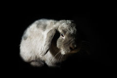 Kanin i mörkret Royaltyfri Bild