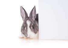 Kanin med det tomma arket på vit bakgrund royaltyfri fotografi