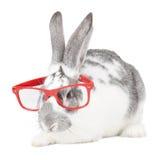 Kanin med exponeringsglas royaltyfri bild