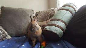 Kanin med moroten Royaltyfri Foto