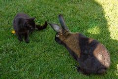 Kanin och katt Arkivbild
