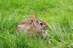 Kanin på det gröna gräset Arkivfoto