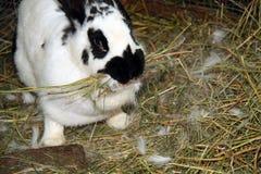 Kanin på hö Royaltyfri Fotografi