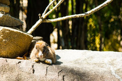 kanin på stenen i Thailand Fotografering för Bildbyråer