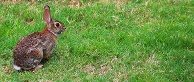 Kanin på vänstersida Arkivfoton