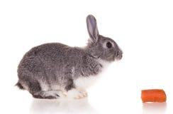 Kanin på vit bakgrund royaltyfri bild