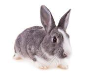 Kanin på vit bakgrund royaltyfria foton