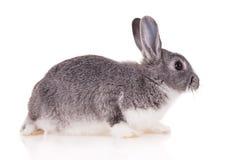 Kanin på vit bakgrund royaltyfri fotografi