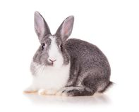 Kanin på vit bakgrund arkivbilder