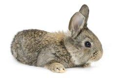Kanin på vit bakgrund royaltyfria bilder