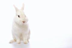 Kanin på vitbakgrund royaltyfri foto