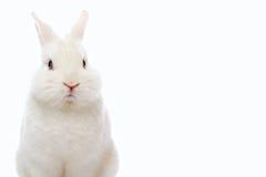Kanin på vitbakgrund arkivfoto