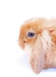 Kanin på white Royaltyfria Bilder