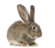 Kanin som isoleras på vit Arkivfoton