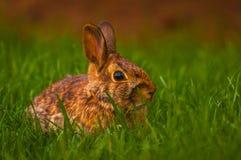 Kanin som kopplar av i gräset Royaltyfri Fotografi